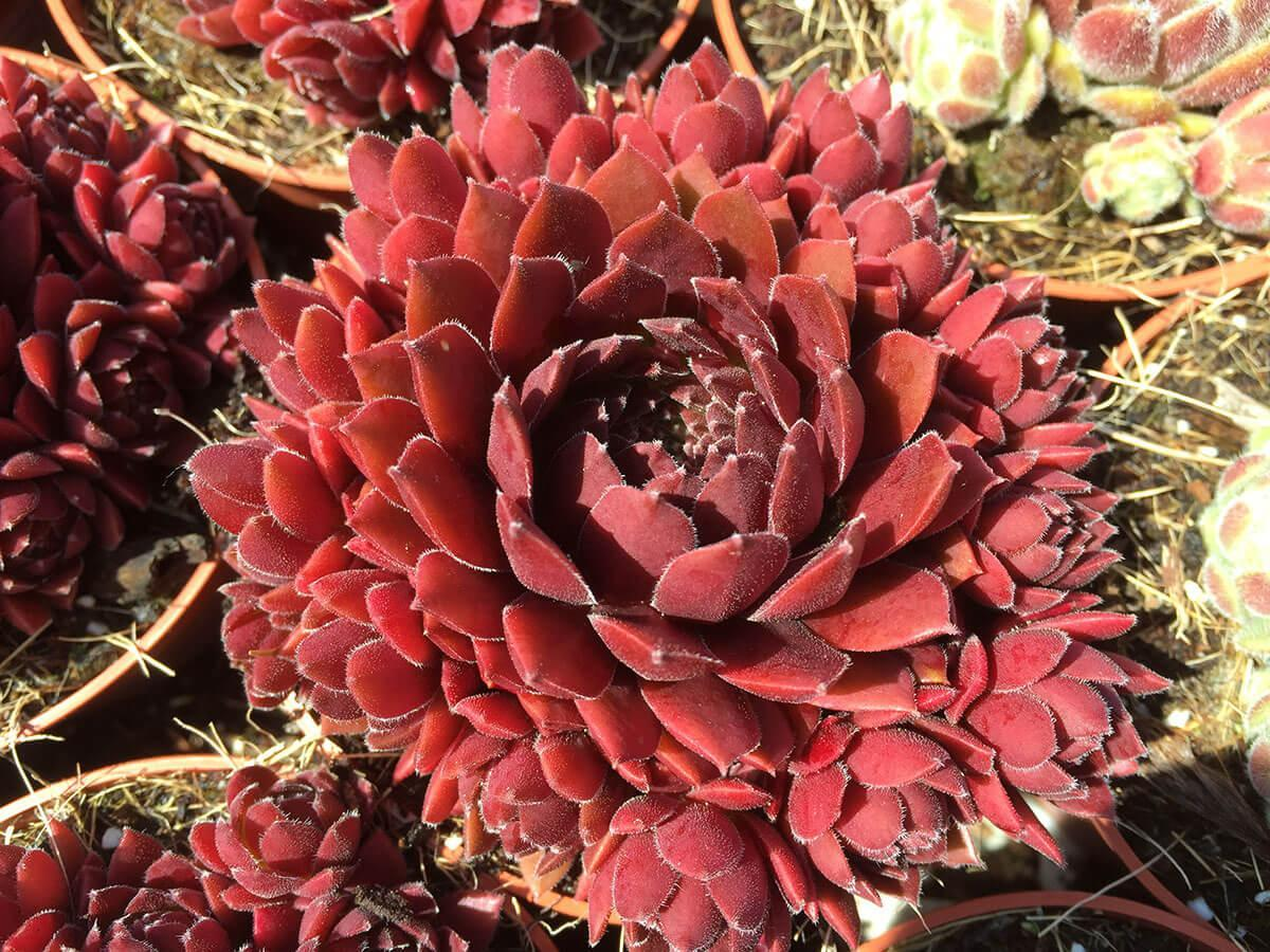 Sempervivum Coral Red belsemred01